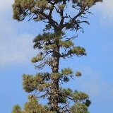 pino grande